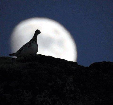 7. Rype i måneskinn. Foto: Ådne Flaten