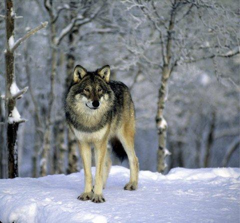 Sier nei: I Østfold skal ikke ulven få føle seg trygg.