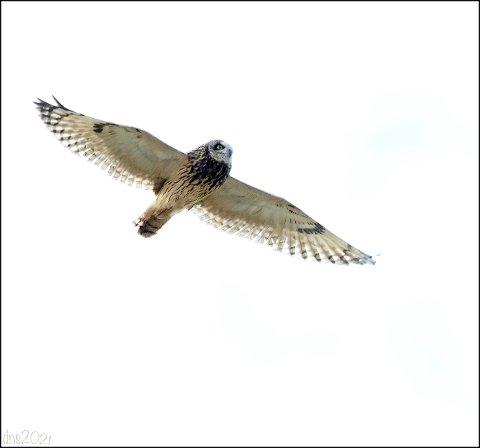 Jordugla har lange vinger og virker lys.