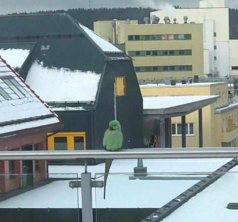 23. JANUAR 2019: Halsparakitten Gunnar i Moss sentrum. Denne helgen er det hagefugltelling i Norge og Norden og denne arten blir det relativt lett å  telle.