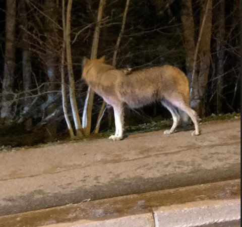 Her står ulven på et fortau i området.