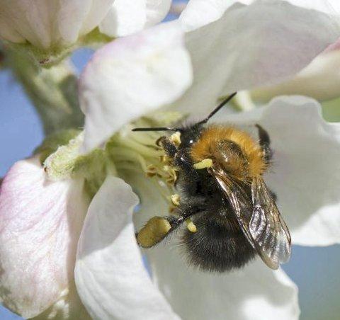 Det skal summe i sentrum: Tvedestrand kommune vil legge til rette for pollinerende insekter.