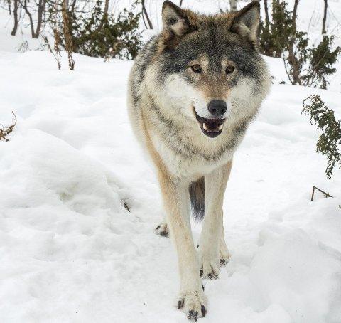 UTVIDER: Regjeringen utvider fellingsperioden for ulv.FOTO: NTB/SCANPIX