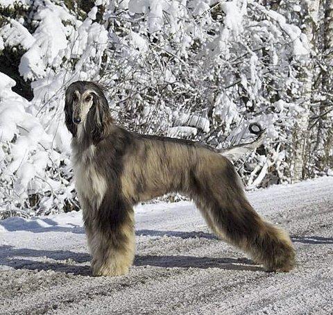 Flott hund på rømmen: Gazalia er en afgahansk mynde, som stakk av fra Langeliveien 22 ved grensen mellom Holmestrand og Re onsdag ettermiddag. Nå er hun hjemme igjen.Foto: privat