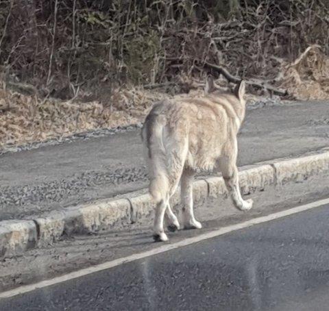 LANGS VEIEN: Hvorvidt dette er en ulv eller en hund skal være usagt. Men at det dukker opp ulv i området er ikke utenkelig.