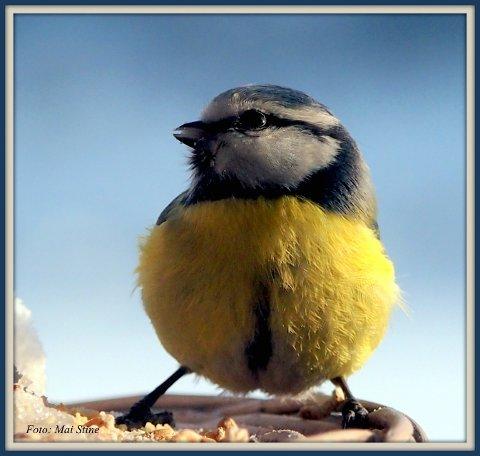 BLÅMEIS: Fargerikt besøk på fuglebrettet. Ser du nøye på bildet ser du at blåmeisen har hvit leppestift ...