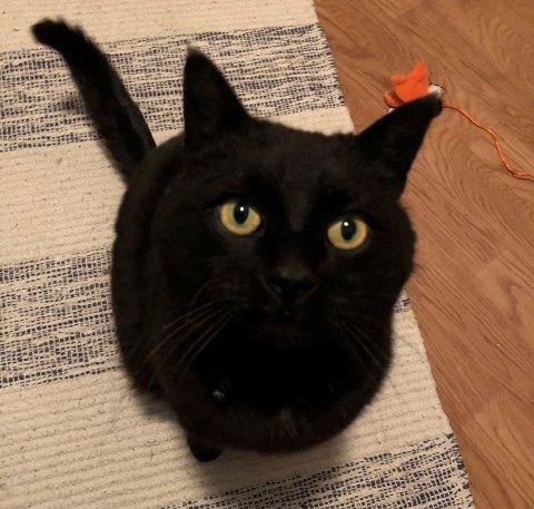 Katten Baloo forsvant fra hjemmet sitt i Øyer for over tre år siden. Men for tre dager siden kom han endelig hjem til sine eiere igjen.