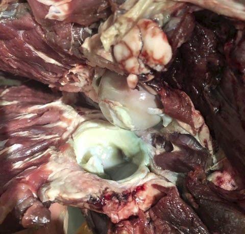Bilde av eine hofteleddet til ein av hjortane som ikkje var som han skulle. (Privat foto).
