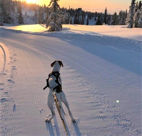 BÅNDTVANG: Hunder i Ringerike og Hole må nå holdes i bånd.