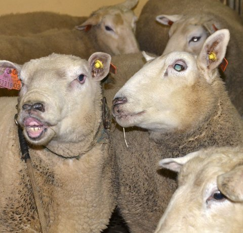 Over grensen: Sauer og andre dyr i Eidfjord kan fra årsskiftet vente veterinær bistand fra nabodistriktet om politikerne er enige med kommuneadministrasjonen. Arkivfoto: M Bleken