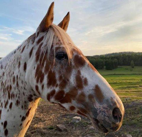 FUNNET: Hesten Spotify forsvant fredag. Nå er han funnet igjen i en åker.