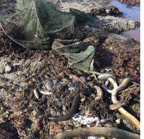 Trist syn: To åleruser med mange døde åler funnet ved Mølen mandag.