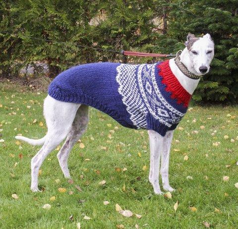 KJAPPING: Greyhounden løper fort, men er ikke spesielt glad i kulda. Da er det godt med en ullgenser. FOTO: Privat