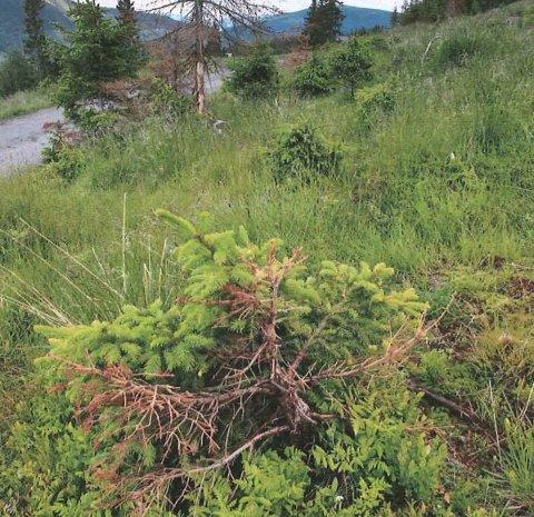 Geiter på beite har skadet store deler av granskogen som ble plantet på et hogstfelt i 2009, mener skogeierne, som har sendt dette bildet til kommunen.