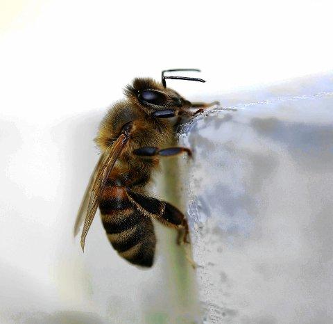 Mye jobb: Ei bie må besøke 20 millioner blomster for å produsere et kilo honning. Foto: Hallgeir B. Skjelstad