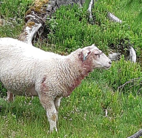 BITT: 22 av sauene til Jens Gunnar og Monica Voldmo har blitt funnet død eller bitt etter møte med ulv.