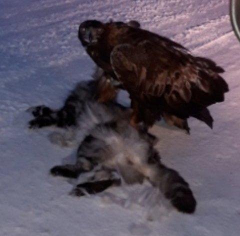 Sist helg kjørte Anne-Lise Olsen og mannen til Narvik fra hytta i Evenes. På veien satt det de først trodde var en hund. Det var ei ørn sto med klørne i ryggen på en katt.