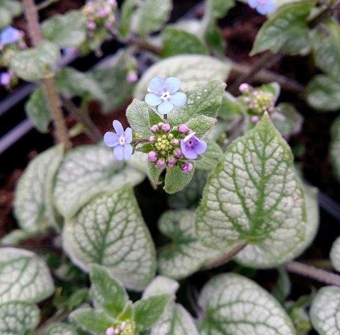 BLÅ BLOMSTER: Jack Frost har nydelige blå blomster og et lysende bladverk.