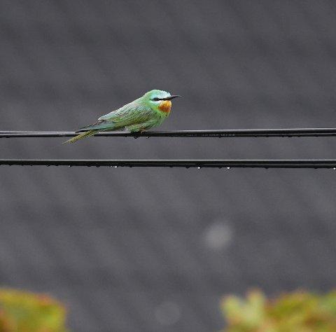 SJELDAN: Denne fuglen har reist på besøk i Bulandet, heilt i frå Nord-Afrika.