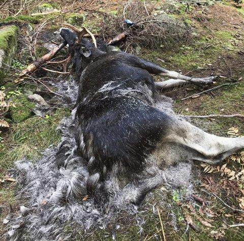 Død: Elgoksen ble stanget ihjel. Foto: Kåre Sander Nilsen