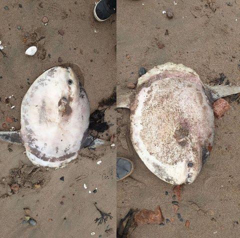 Denne månefisken hadde strandet på Bergerstranda. Fisken kan bli en av verdens største beinfisker.