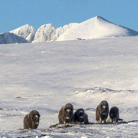7. Moskus ved Snøhetta. Foto: Jon Stensrud