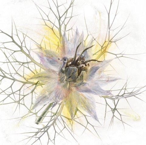 JOMFRUEN I DET GRØNNE: Bente Klevenberg går aldri langt for å finne motiver. Her har hun fanget blomsten jomfruen i det grønne.