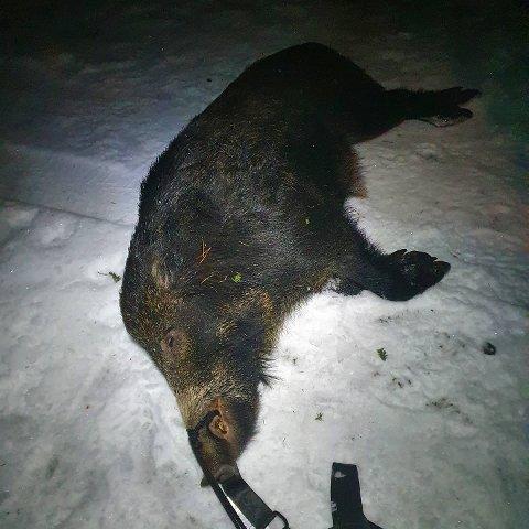 SOLID: Denne galten på rett over 100 kilo måtte Bjerkvik snike seg inn på.