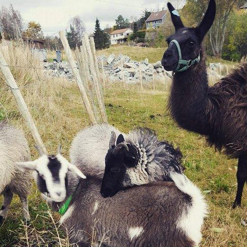 Bianca er en voksen lama som bor sammen med sauene på Hetlebakken hobbygård.
