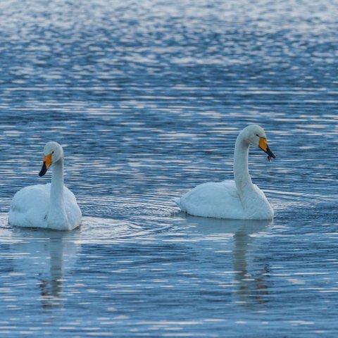 TRIST: Det er svanen til høgre som har fått fiskesluken i nebbet. – Eit trist syn, seier hobbyfotograf Tomas Oskar Hammarsø Bruket.