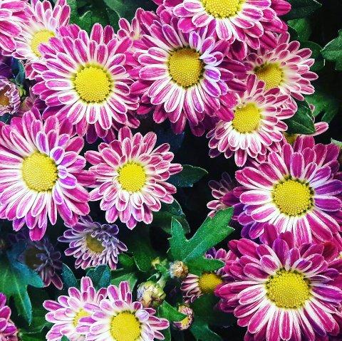 BLOMSTER: På tide å skifte ut sommerblomstene. Det finnes mye å velge mellom.