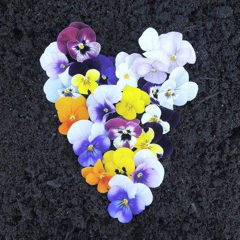 FIOLER: – Fioler er noe av det vakreste jeg vet. Tåler kuldegrader og blomstrer i det uendelige når de knipes.