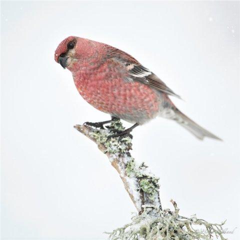 Konglebit ble fjorårets store overraskelse i Rogaland. Hvilken fugl blir det i år?