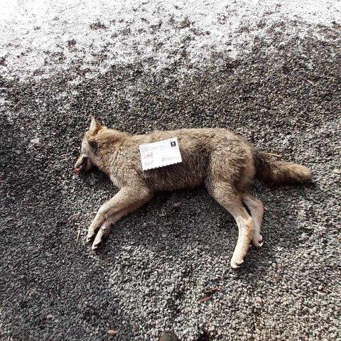 FELT: Denne ulvetispa ble felt i Eidsvoll i morgentimene 2. påskedag.