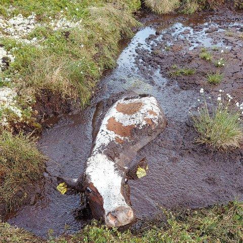 Tilfeldigheter gjorde at Erling Tingstad og dattera Ingrid Tingstad så hodet til kua Vårlin stikke opp fra et torvhull.
