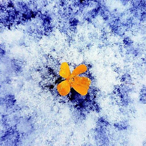 2. TAKK FOR I ÅR: Blomster i snø. Foto: Åshild Einbu