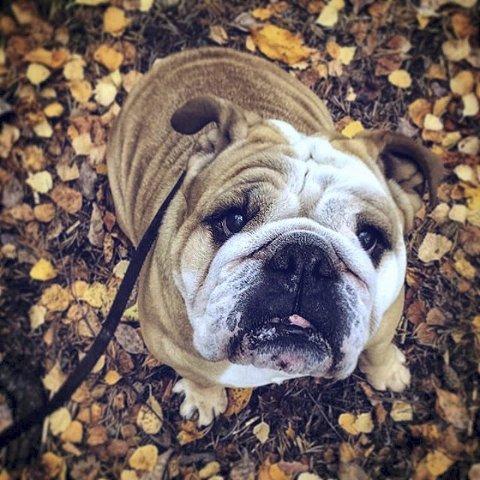 9. HØSTBULLDOG: Engelsk bulldog med høstfarger. Foto: Bente Olderløkken