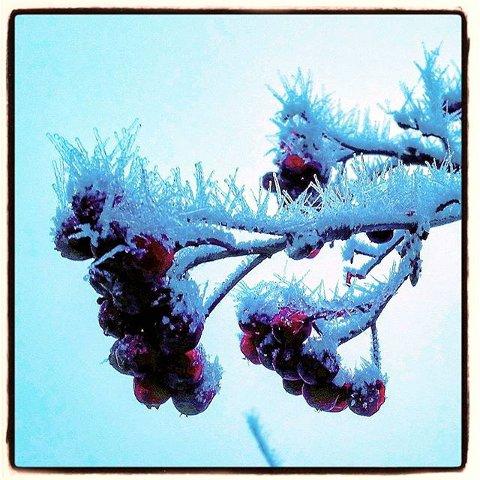 10. FROST: Kalde hyllebær. Foto: Lillian Engum