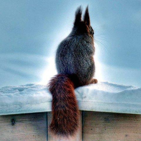 7. VAKRE SNIPP: Ekorn på besøk. Foto: Anne Margrethe Jordbruen