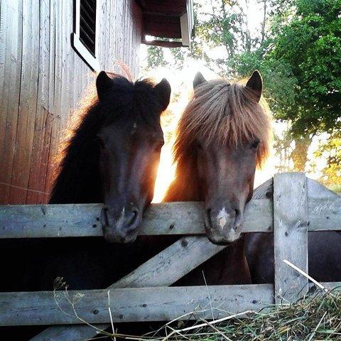 10. Islandshest: Hester i solnedgang. Foto: Trond-Magne