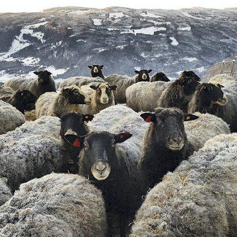 BÆÆ: Pelssau som koser seg ute i friskt vintervær. Foto: Line Rusten