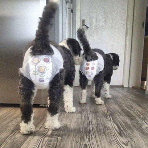 BLEIE-BARN: Spanske vannhunder i dokø. Foto: Tone Kveen