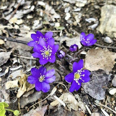 6. BLÅVEIS: Våren kjem med farger. Foto: Marit R. Marstein