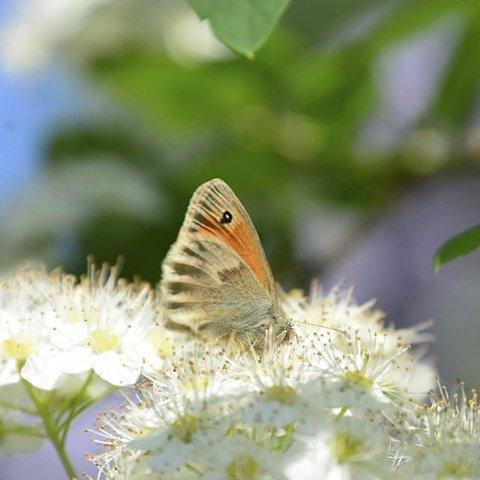 7. SOMMER: Sommerfugl i Heidal. Foto: EvaKdB