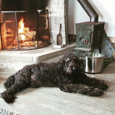 Hunden Tano, av rasen goldendoodle, har vært savnet i ei uke på Lalm. Ingen finner noe spor etter den.
