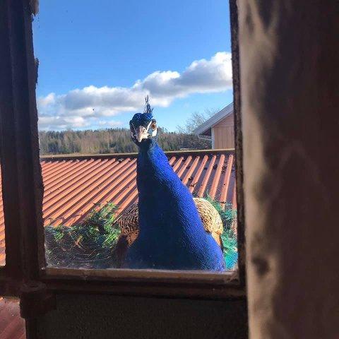 FØNIX: Lydene fra påfuglen Fønix gjør at aremarkingene klør seg i hodet.