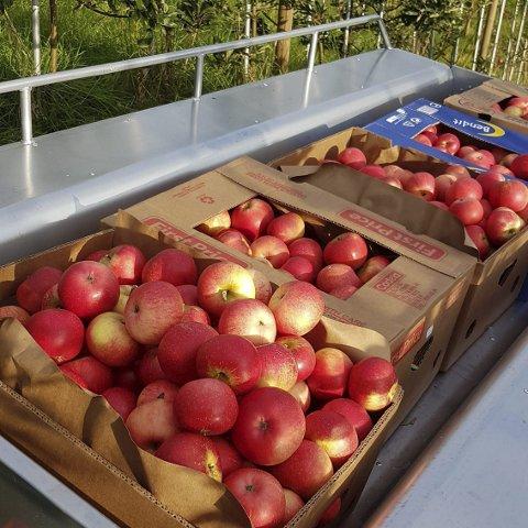 Eplehausten 2019: Fine eple i høvelege øskjer. (Privat foto).