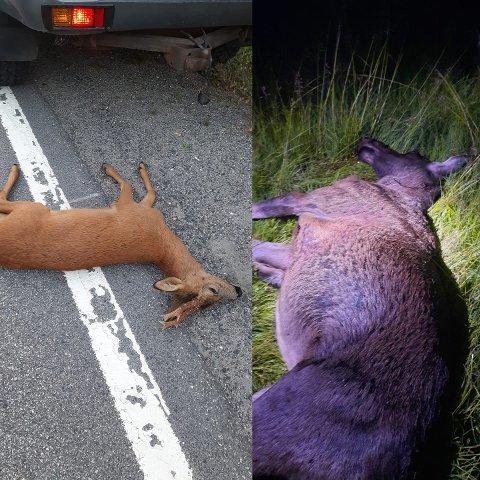 Viltforvaltningen har vært ute og avlivet to dyr i natt. Roger Reinslo ber folk følge med. – Senk gjerne farten ved elgskilt som står på kjente viltoverganger, sier han.