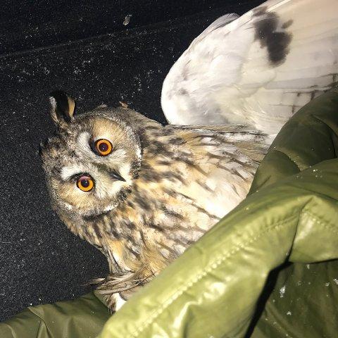 REDDET: Tirsdag kveld fant Sigrid Theres Nystad Johnsen ei skadet ugle på Ballstad.