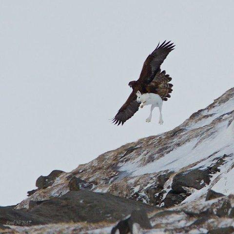BLINKSKUDD: Paul Nilsen fanget det utrolige øyeblikket da en kongeørn fanget en hare på Sørøya.